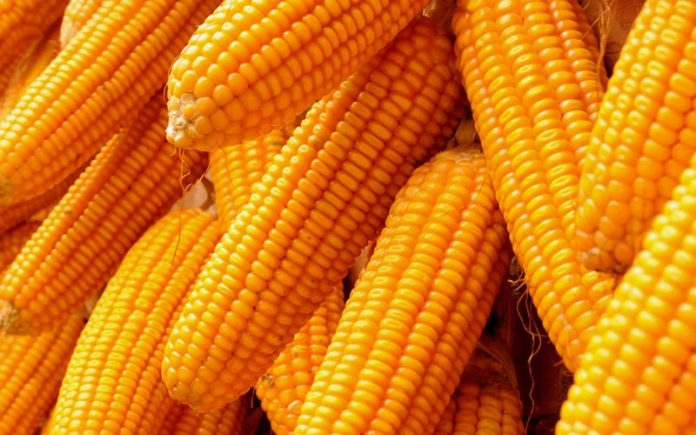 300,000MT of Maize for Release in February 2021 in Nigeria, Price of Maize Set to Crash