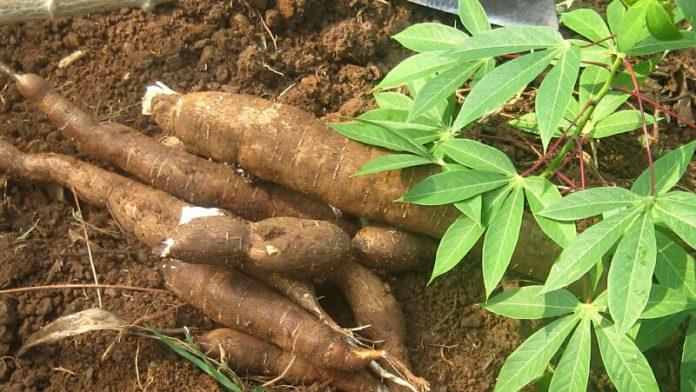 IITA Signs MoU with Nigerian Cassava Growers