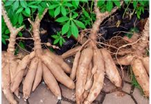 CBN Invests N25bn in Cassava Value Chain in 2020