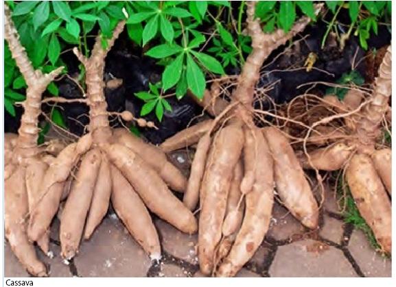 CBN Invests N25bn in Cassava Value Chain in 2020
